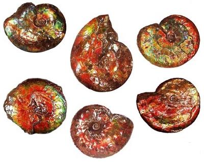 Canada Fossil ammonite