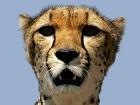 Какие духи любят гепарды?